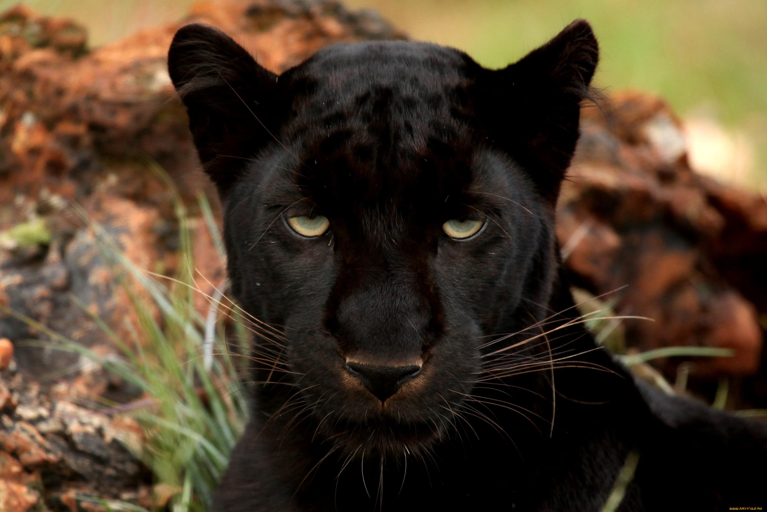 пределы леса картинки черных леопардов одному факту
